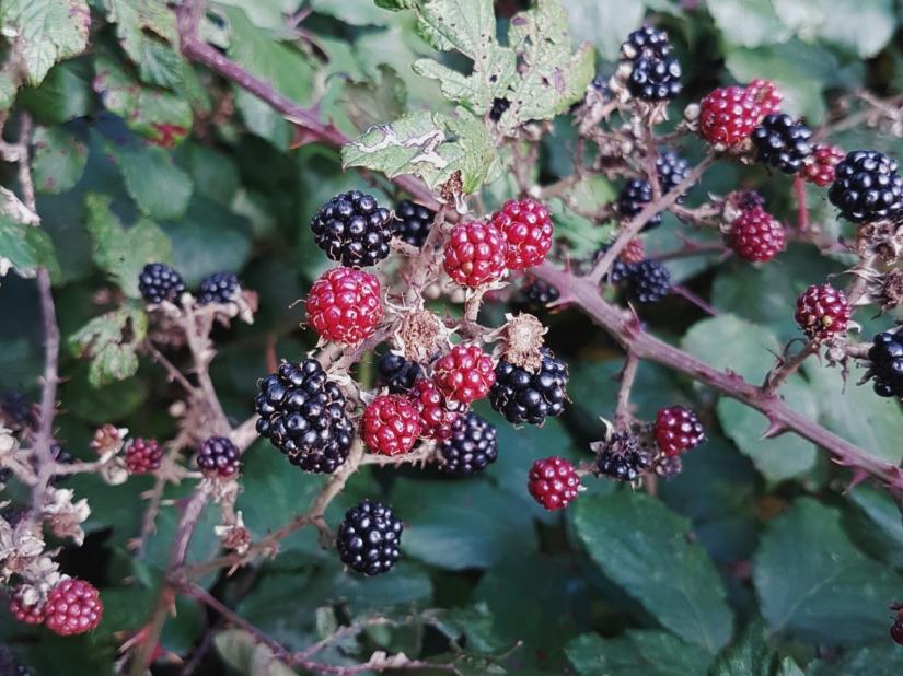 Blackberry Pancakes.